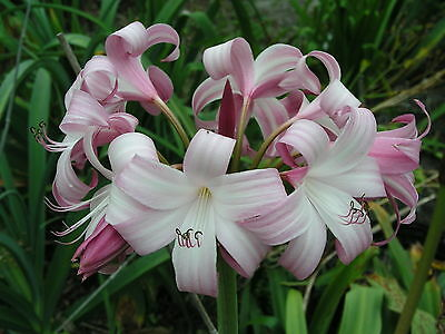 Crinum Lily, Peachblow Improved, JUMBO, blooming-size bulb -  VERY RARE