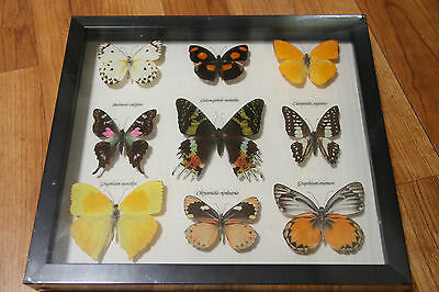 Bits and Bugs Framed Butterflies South America, Africa Insect Specimen Display