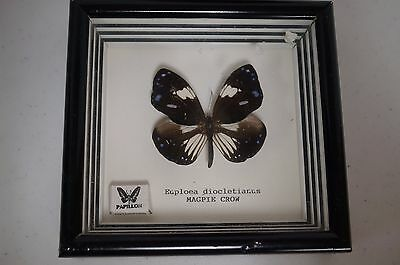 """Real Framed Butterfly Euploea diocletianus """"Magpie Crow"""""""