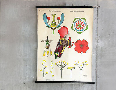 Beautiful German1970s illustrated botanical pull down teaching poster