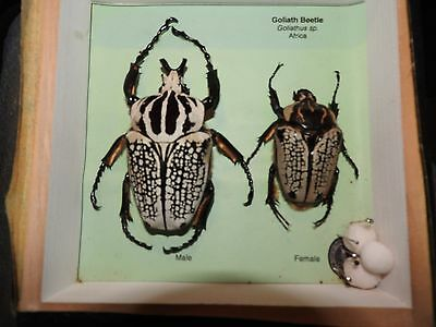 LARGE Goliath Orientalis Beetles  Male and Female Male is 92 mm