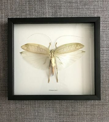 Orthoptera, Large 212 Mm Wingspan Professionally Mounted For Display