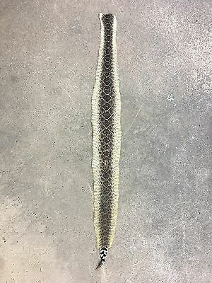 """Tanned rattlesnake skin craft taxidermy 43 1/2"""""""