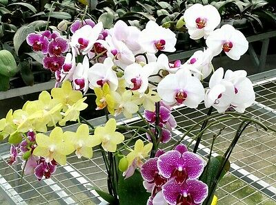 Mix Color Phalaenopsis Flower Seeds Bonsai Plant Butterfly