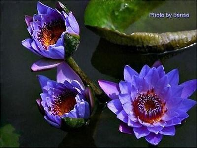 2 PURPLE LOTUS Water Lily Pad Nymphaea Pond Flower Seeds