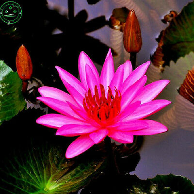 10 Fresh seeds Indian Red Water lily Nymphaea Rubra Bright Lotus Family Garden