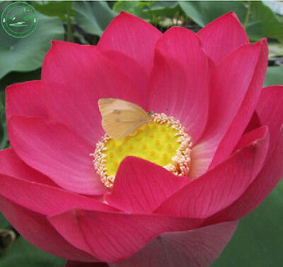 10 Perennial Flowers Seeds Red Lotus Plant Water Lily Beautiful Bright