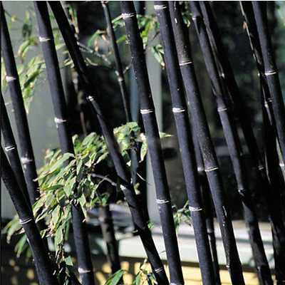 Black Tinwa GREEN 100Pcs Phyllostachys Pubescens Moso-Bamboo Seeds Garden Plants