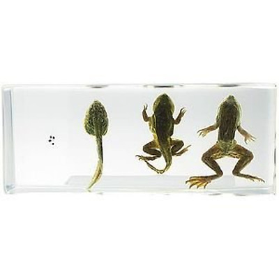 Life Cycle of Frog - Real Specimen
