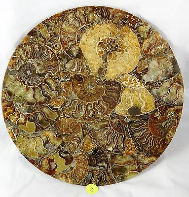 2) Large Ammonite Fossil Plate Polished Shell Great Gift Home Decor Table Decor