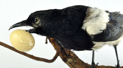 Vtg Antique Old Pre 1946 Magpie Stuffed Bird With Egg Taxidermy Cabin Decor
