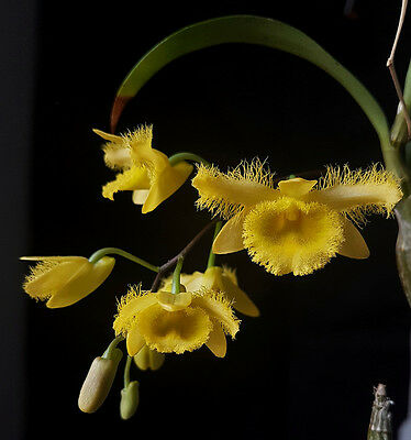 Dendrobium harveyanum bare roots BS