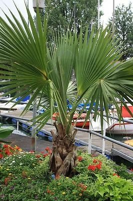 Washingtonia filifera California fan palm (Sent in a 9cm pot)