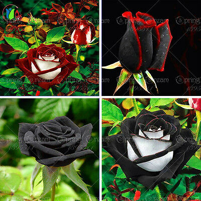 Black Rose Flower with Red Edge Rare Rose Flowers Seeds