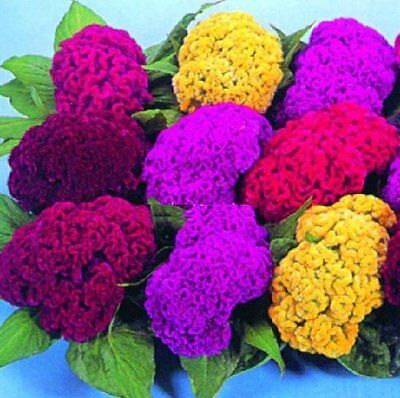 Giant Cockscomb Flower, Mixed Colour, Easy-growing, 10 Viable seeds, UK seller