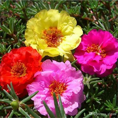 Moss Rose Double Flower, Mixed Colour, Easy-growing, 10 Viable seeds, UK seller