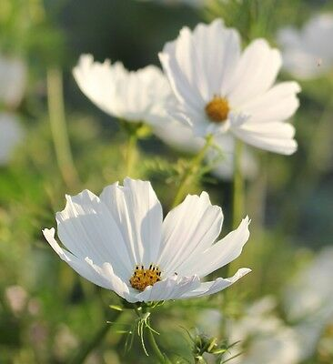 Cosmos bipinnatus 'Purity' / Large pure white flowers all summer / 150 Seeds
