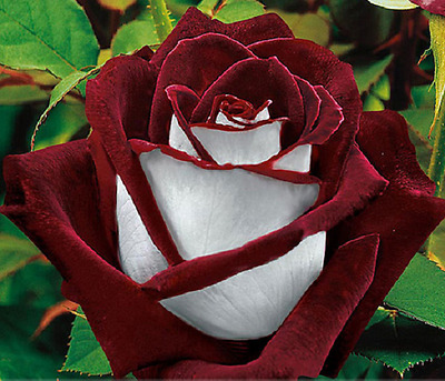 50 Seeds Fresh Exotic Blood Red and White Rose garden rare Flower