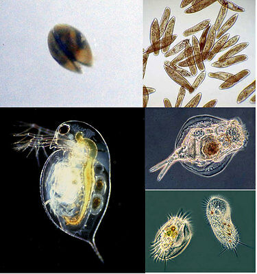 Live fish food Cultures Daphnia Grindal Whiteworm Blackworm Springtails Scuds