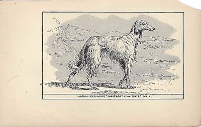 1900 Original UK Dog Art Pen & Ink Print R H Moore AFGHAN HOUND SALUKI Shahzada