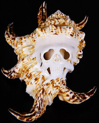 """5.3"""" CHIRAGRA SPIDER CONCH Carved Crystal Skull, Shell Crystal Healing#S435"""