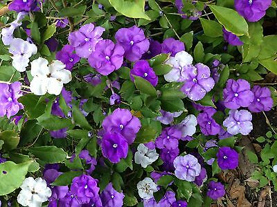 20 Seeds-Brunfelsia latifolia-Yesterday, Today and Tomorrow-Tree seeds