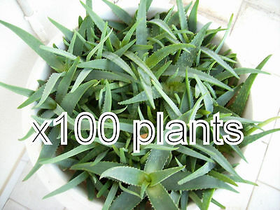 100 large size aloe vera Organic large Plant 7 -8 inch Bare Root  from our farm