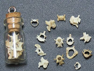 Mole vertebrae bones in a glass vial pendant. Wiccan Pagan Witchcraft