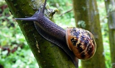 1 SNAIL, Helix Aspersa Muller, Greek, Alive, Perfect Pet, Free at Nature