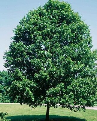 "Sugar Maple - Size: 1 Gallon - 4 yrs old - 18"" to 30"""