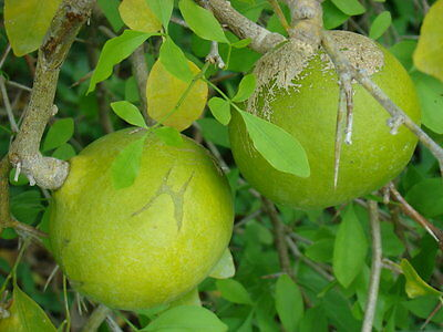 Aegle marmelos - 10 seeds, bael fruit, Bengal quince, Stone apple