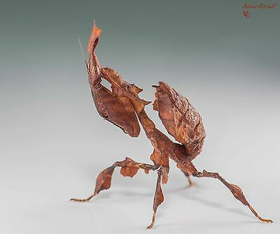 Praying Mantis - 1x Phyllocrania paradoxa (Ghost Mantis) (2nd instar) (x1)