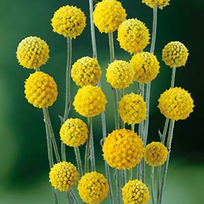 Billy Buttons Seed Perennial Golden Globe Flower Drought Frost Seaside Tolerant