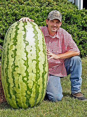 **UK SELLER** Giant Watermelon Seeds x5 **RARE** 3 for 2 Offers!
