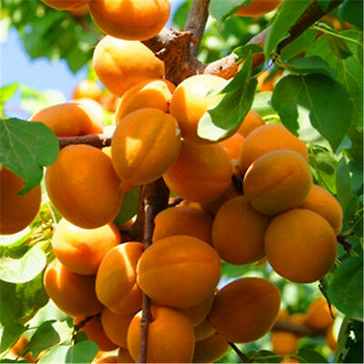 Sweet & Delicious **APRICOT TREE** 5-Finest Seeds**Hardy Variety**UK Seller*