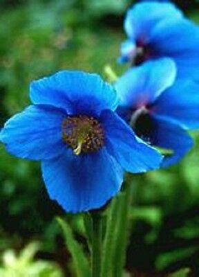 Meconopsis x 'Lingholm' / Himalayan Blue Poppy / Hardy Perennial / 30 Seeds