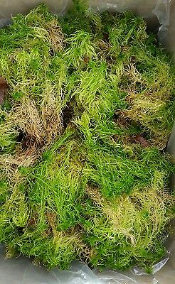 Live Sphagnum Moss - Harvested to order, sustainable source, 4kg inc packing