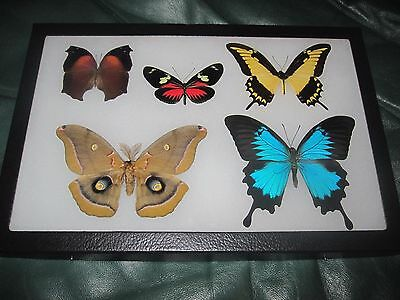 5 real framed mounted lepidoptera  butterflies lot in 8 x 12 display #uu5