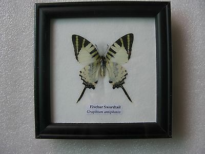 New! Real Butterfly Fivebar Swordtail Taxidermy Insect Frame Wall Decor 12x12 cm