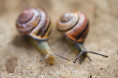 10X Live Banded Land Snails, mixed colours (feeding large reptiles) + FREE FOOD