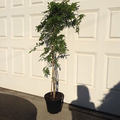 Large White Wisteria Climbing Plant 15 litre  pot over 6ft