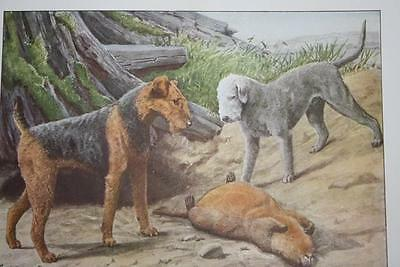 """1919 National Geographic Dog AIREDALE BEDLINGTON TERRIERS 7.75"""" X 5.5"""" PRINT"""