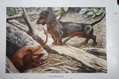"""VINTAGE 1919 National Geographic Dog DACHSUND 5.5"""" X 3.5"""" Fabulous Print"""