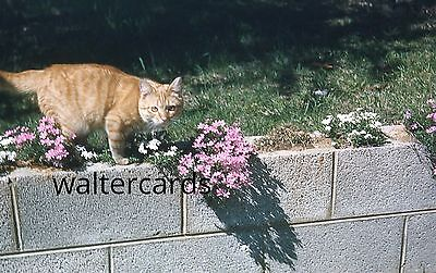 KODACHROME Red Border 35mm Slide lot 1950s Cute Cat playing hunting ? flowers