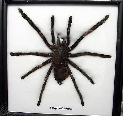 Real Exotic Black Giant Spider Taxidermy Flying In Wood Framed 1