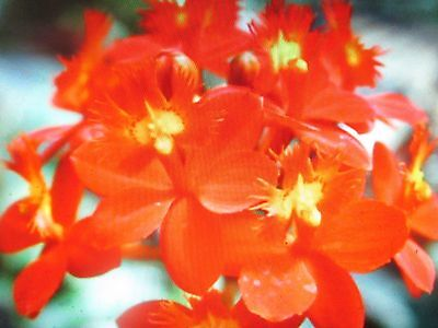 Epidendrum Crucifix Orchid Topaz Glory Stunning Red