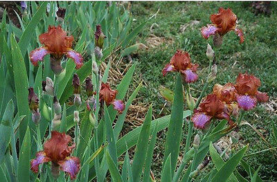 Border Bearded Iris X 1 Rhizome ***  Lasso Lane ***  Bronze/violet