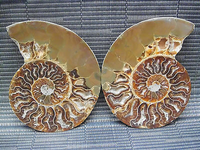 342g natural Rainbow Pair Slices Polished Split Chrysanthemum Fossil snail 08668