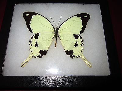 "real papilio dardanus butterfly from africa mounted  framed  5 x 6"" riker ##40"