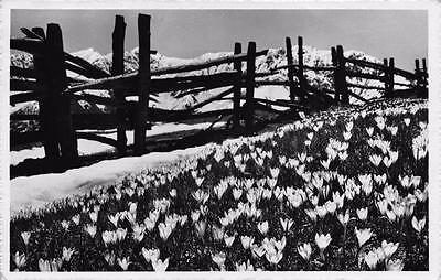 Postcard Vintage 1956 Real Photo CROCUS Fruhling Spring in DAVOS Switzerland
